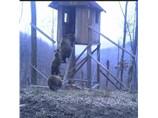 С 1 августа открывается охота на медведя на овсах.